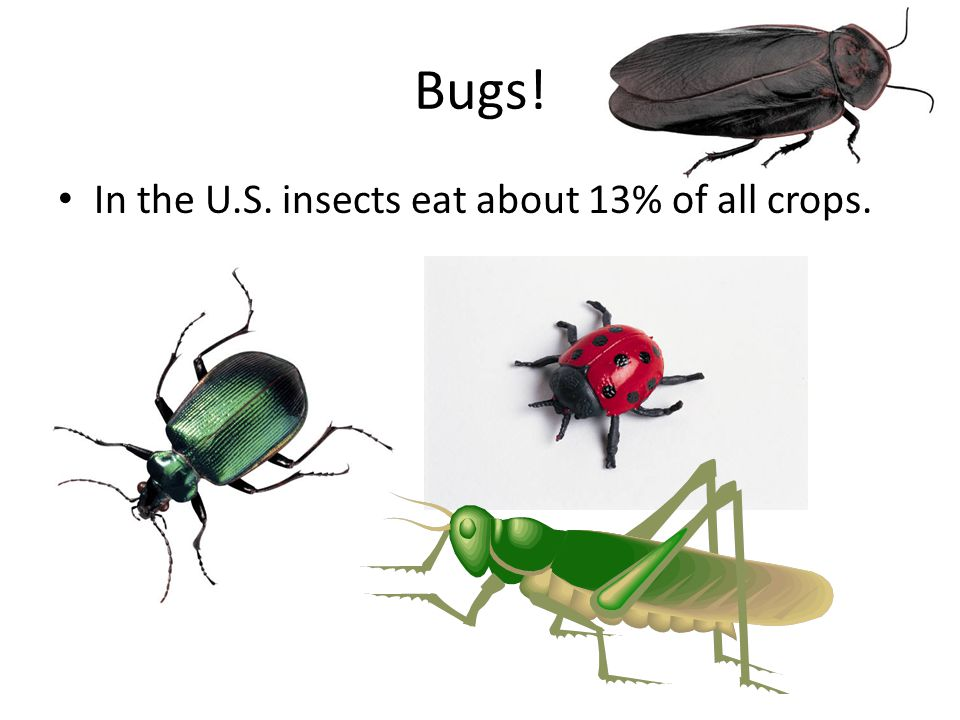 Bugs! In the U.S. insects eat about 13% of all crops.
