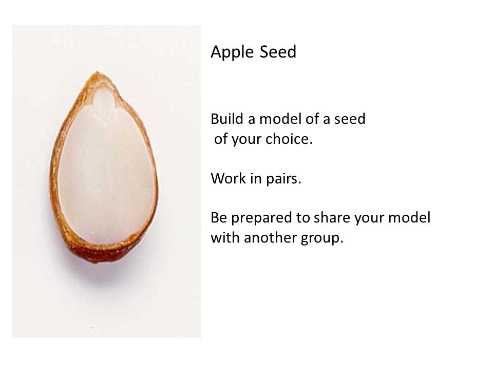 Apple Seed Build a model of a seed of your choice.