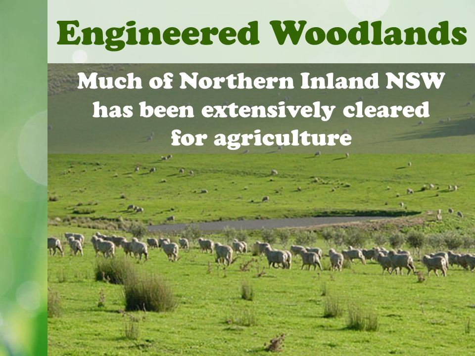 Engineered Woodlands Much of Northern Inland NSW has been extensively cleared for agriculture