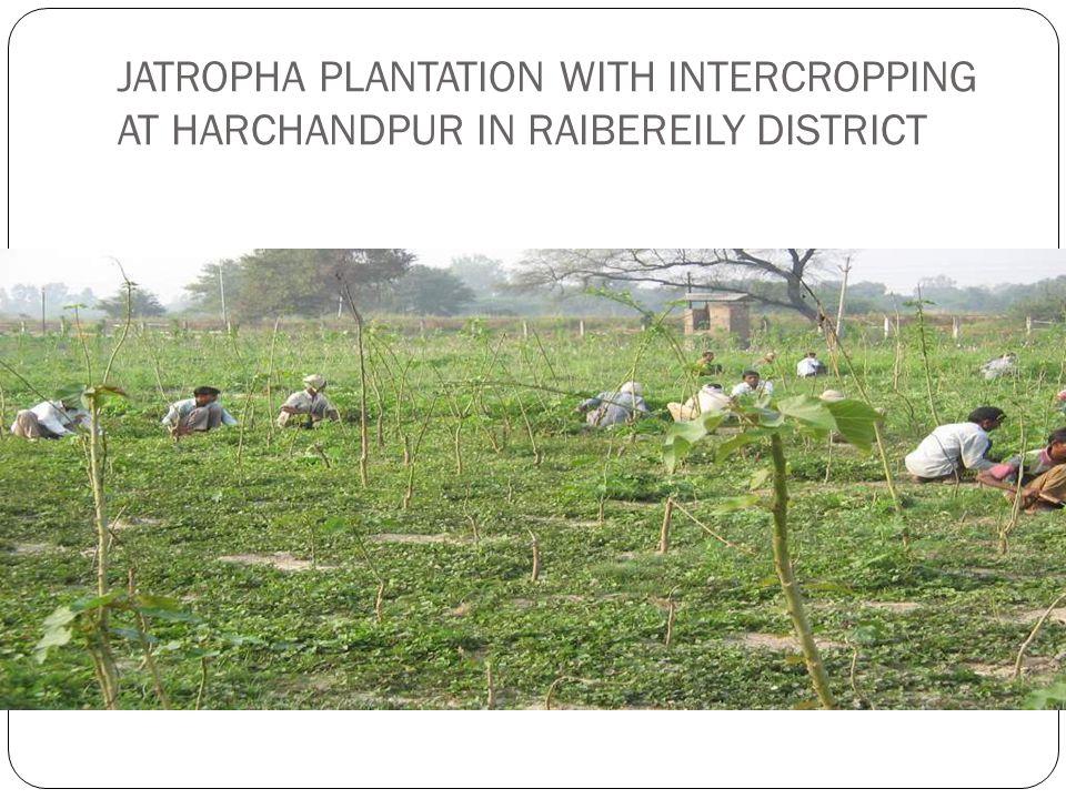 JATROPHA PLANTATION WITH INTERCROPPING AT HARCHANDPUR IN RAIBEREILY DISTRICT