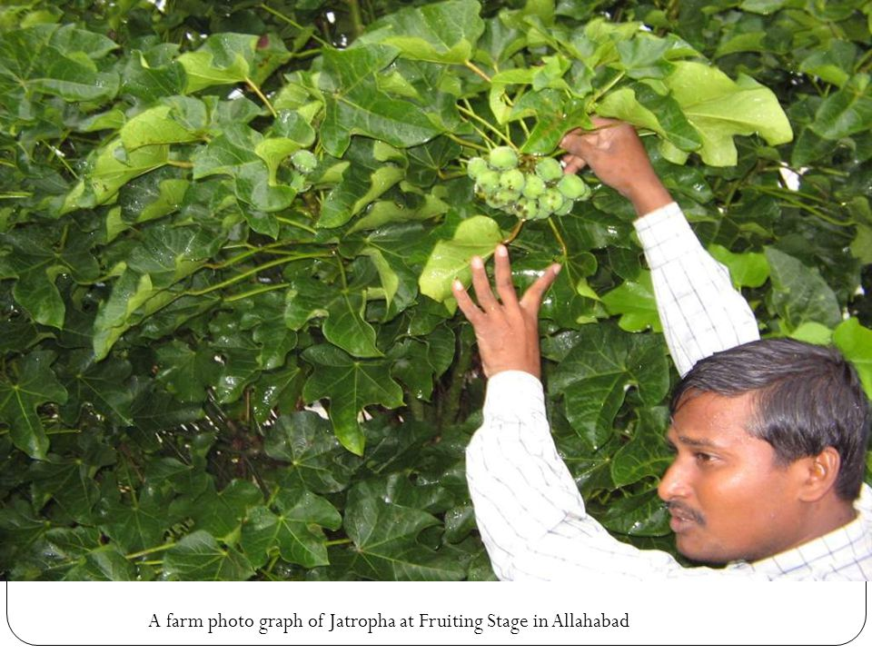 A farm photo graph of Jatropha at Fruiting Stage in Allahabad