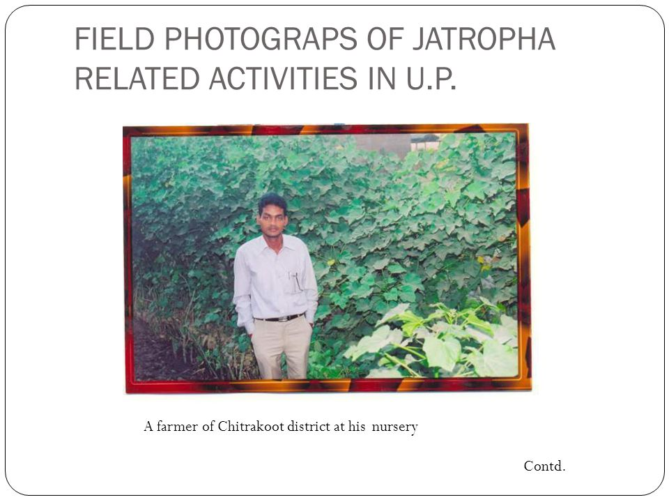 FIELD PHOTOGRAPS OF JATROPHA RELATED ACTIVITIES IN U.P. A farmer of Chitrakoot district at his nursery Contd.