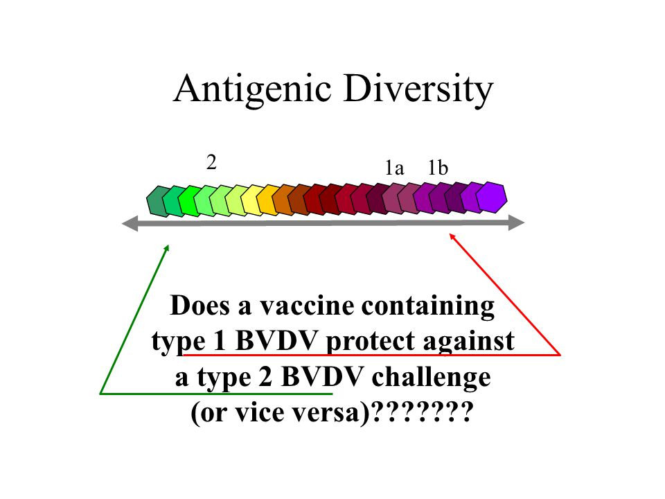 Antigenic Diversity 2 1a 1b Does a vaccine containing type 1 BVDV protect against a type 2 BVDV challenge (or vice versa)