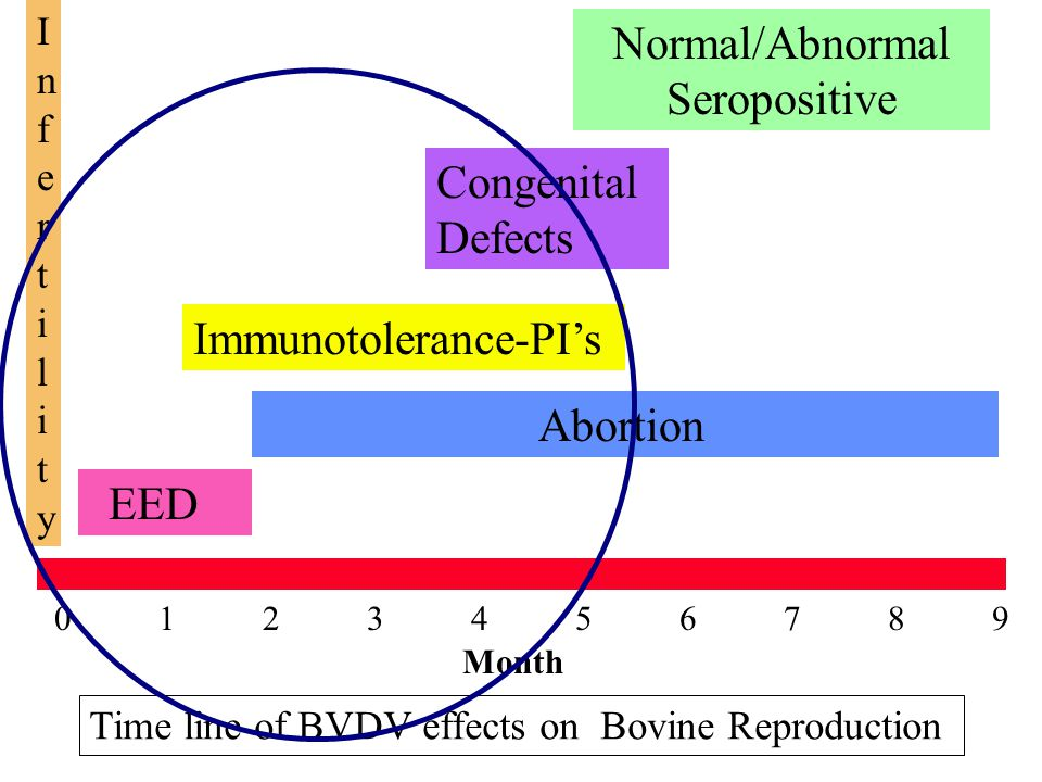 0 1 2 3 4 5 6 7 8 9 EED Abortion Month Immunotolerance-PI's Congenital Defects Normal/Abnormal Seropositive InfertilityInfertility Time line of BVDV effects on Bovine Reproduction