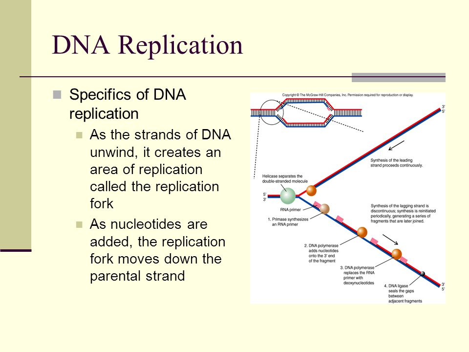 DNA Replication Specifics of DNA replication As the strands of DNA unwind, it creates an area of replication called the replication fork As nucleotides are added, the replication fork moves down the parental strand