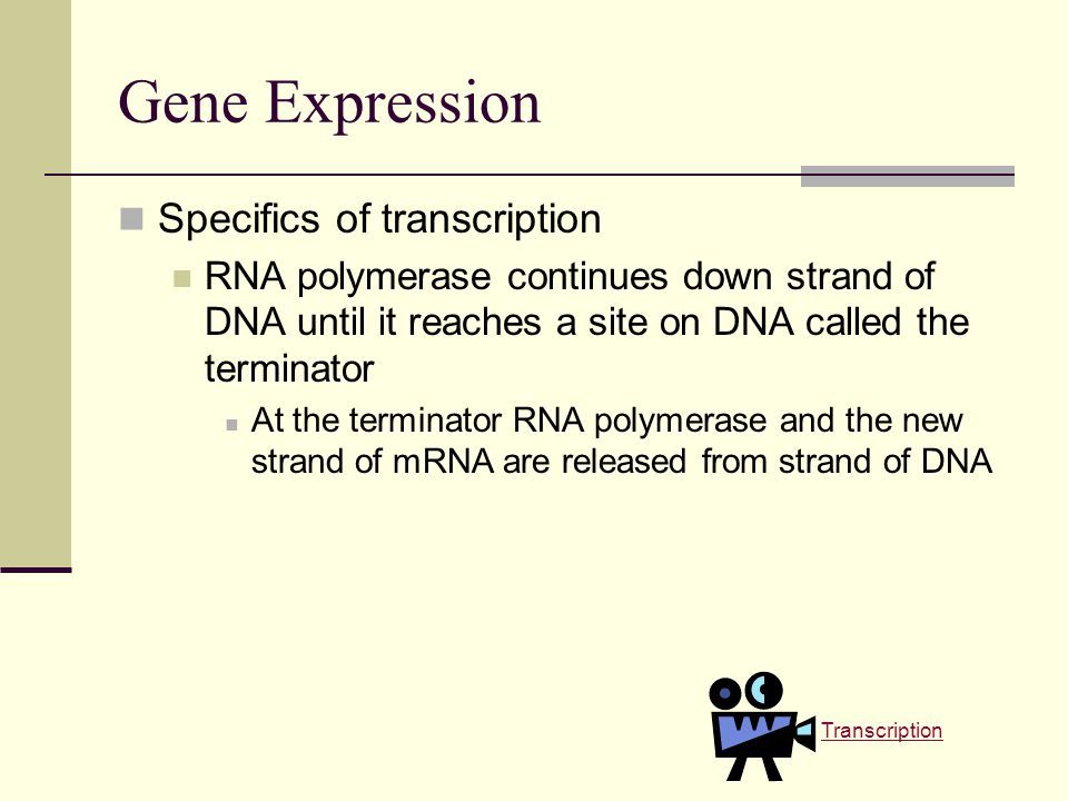 Gene Expression Specifics of transcription RNA polymerase continues down strand of DNA until it reaches a site on DNA called the terminator At the terminator RNA polymerase and the new strand of mRNA are released from strand of DNA Transcription