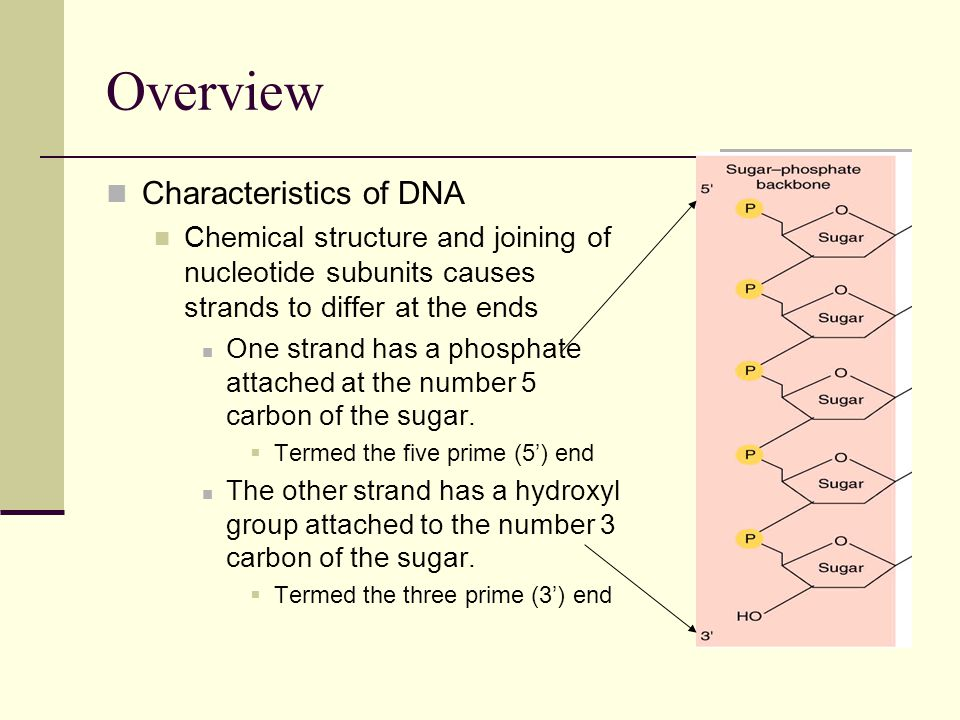 Overview Characteristics of DNA Chemical structure and joining of nucleotide subunits causes strands to differ at the ends One strand has a phosphate attached at the number 5 carbon of the sugar.