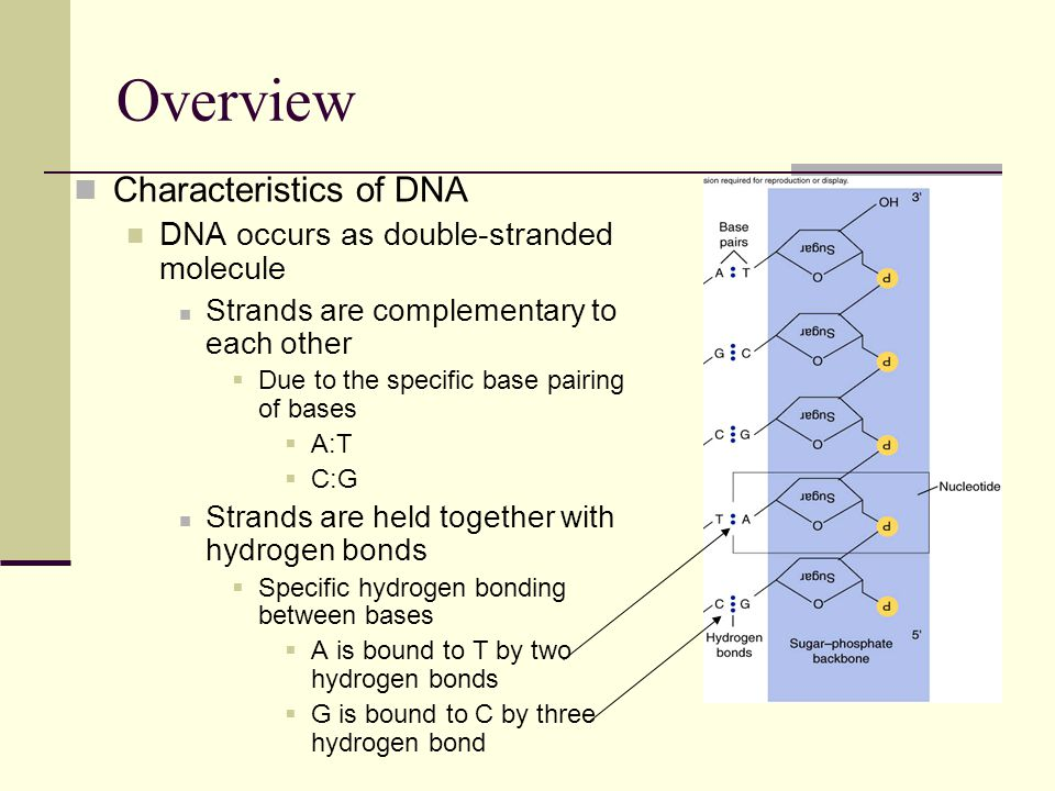 Overview Characteristics of DNA DNA occurs as double-stranded molecule Strands are complementary to each other  Due to the specific base pairing of bases  A:T  C:G Strands are held together with hydrogen bonds  Specific hydrogen bonding between bases  A is bound to T by two hydrogen bonds  G is bound to C by three hydrogen bond