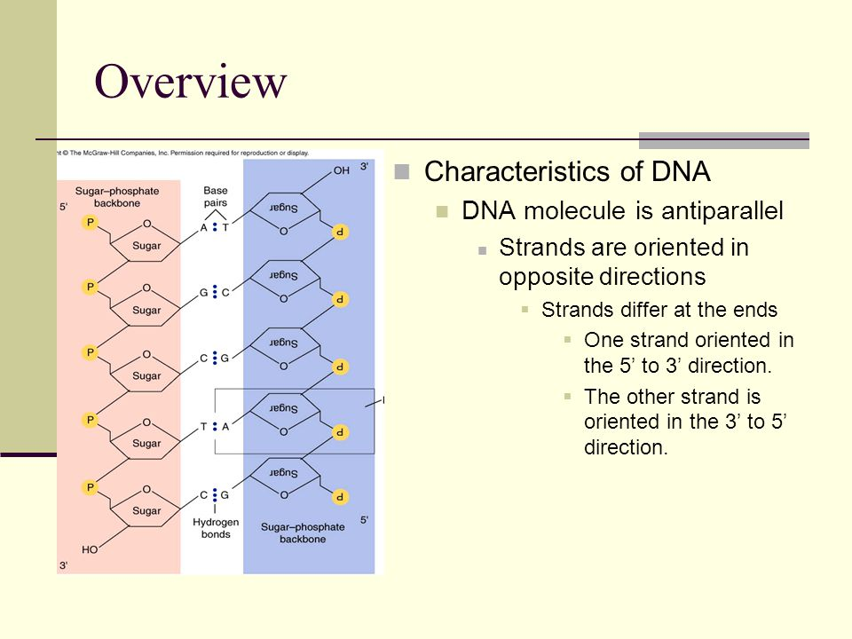 Overview Characteristics of DNA DNA molecule is antiparallel Strands are oriented in opposite directions  Strands differ at the ends  One strand oriented in the 5' to 3' direction.