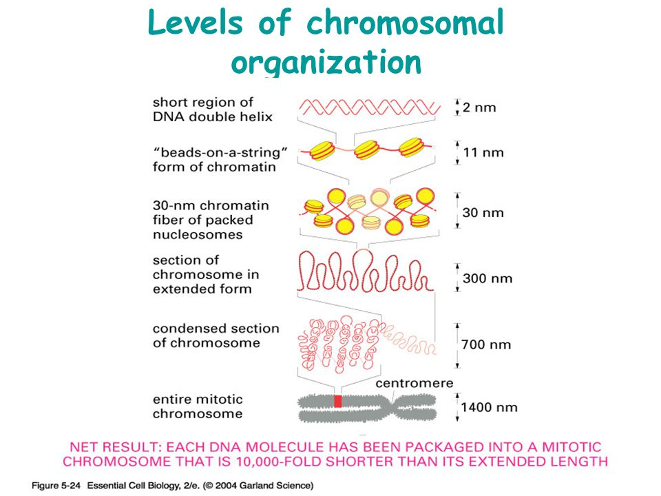 Levels of chromosomal organization