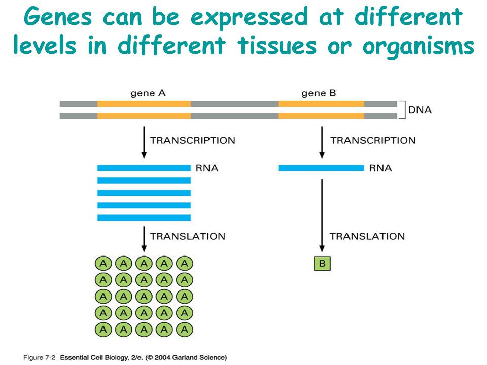 Genes can be expressed at different levels in different tissues or organisms