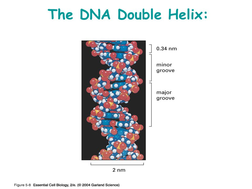 The DNA Double Helix: