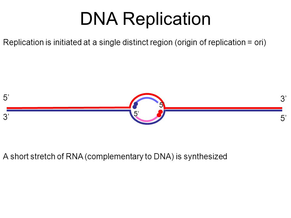 DNA Replication 5' 3' 5' Replication is initiated at a single distinct region (origin of replication = ori) A short stretch of RNA (complementary to D
