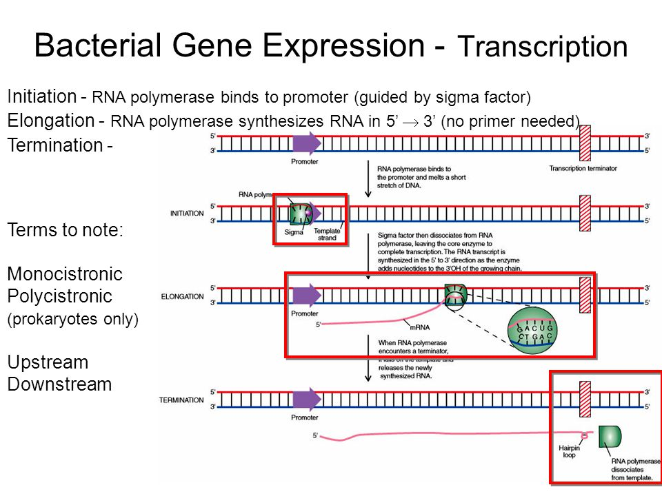Bacterial Gene Expression - Transcription Terms to note: Monocistronic Polycistronic (prokaryotes only) Upstream Downstream Initiation - RNA polymeras