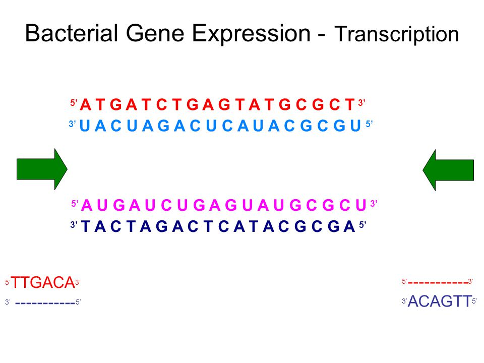 Bacterial Gene Expression - Transcription 5' A T G A T C T G A G T A T G C G C T 3' 3' U A C U A G A C U C A U A C G C G U 5' 5' A U G A U C U G A G U A U G C G C U 3' 3' T A C T A G A C T C A T A C G C G A 5' 5' TTGACA 3' 3' ----------- 5' 5' ----------- 3' 3' ACAGTT 5'