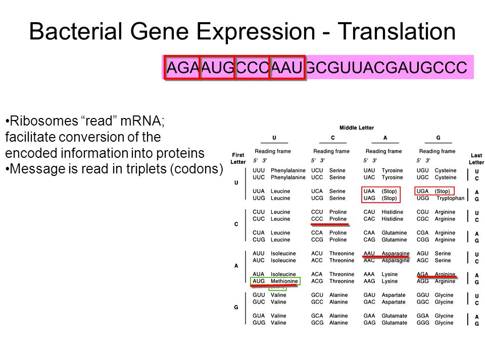 "Bacterial Gene Expression - Translation Ribosomes ""read"" mRNA; facilitate conversion of the encoded information into proteins Message is read in tripl"