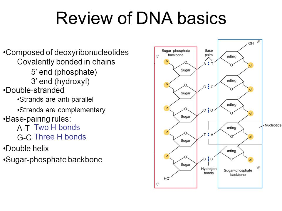 N N N N N 5' 3' N N N N N 5' 3' If there are 400 cytosines in a DNA molecule that has 1000 base-pairs, how many adenines does the molecule have.
