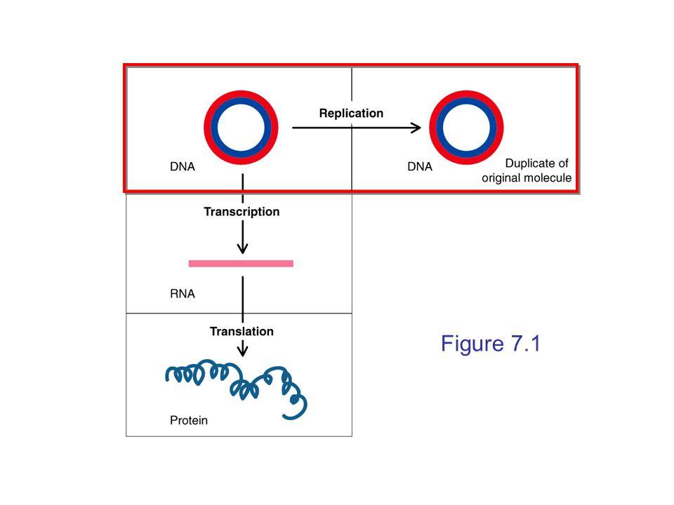 Bacterial Gene Expression - Translation