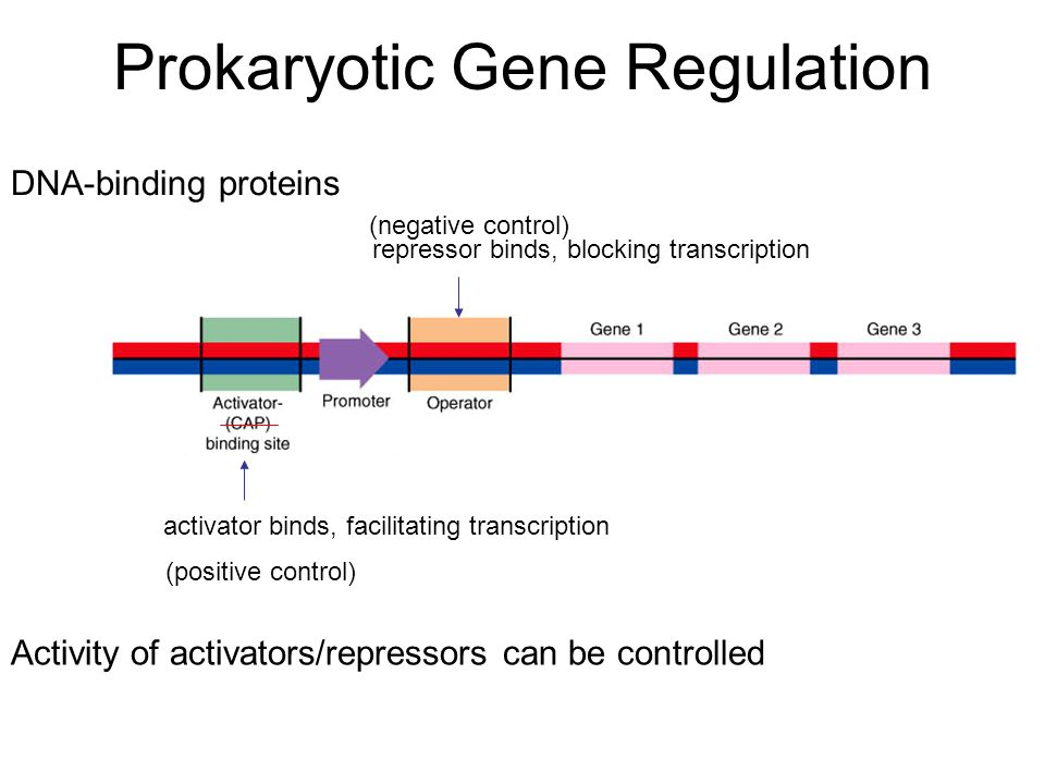 Prokaryotic Gene Regulation DNA-binding proteins repressor binds, blocking transcription activator binds, facilitating transcription (negative control