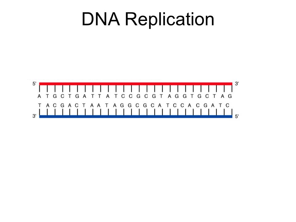 DNA Replication 5' 3' 5' Replication is initiated at a single distinct region (origin of replication = ori) A short stretch of RNA (complementary to DNA) is synthesized