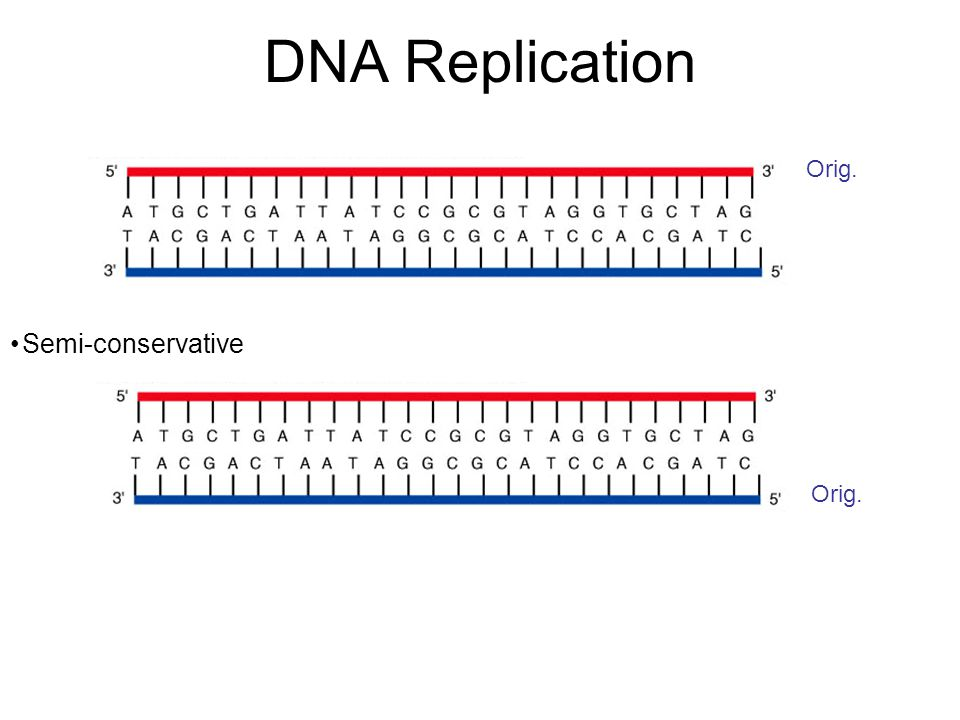DNA Replication Synthesis is 5'  3' (note: polymerase reads template 3'  5') Semi-conservative Bi-directional DNA polymerase reads template, adds proper nucleotide to the 3' end of the new chain Second round of replication can start before first is complete DNA polymerases generally corrects errors during replication ( proofreading ) Error rate = 1/billion nucleotides DNA polymerases require a primer ( they can only add nucleotides onto an existing chain )
