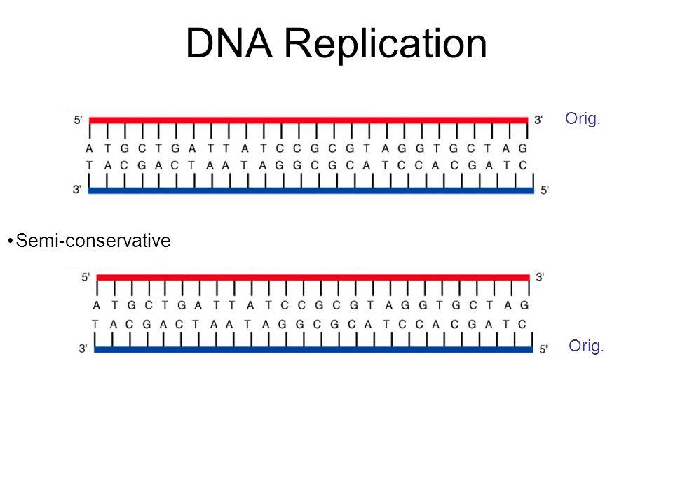 DNA Replication 5' 3' 5' Replication is initiated at a single distinct region (origin of replication = ori)
