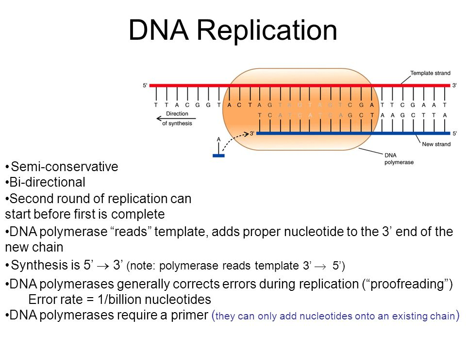 "DNA Replication Synthesis is 5'  3' (note: polymerase reads template 3'  5') Semi-conservative Bi-directional DNA polymerase ""reads"" template, adds"