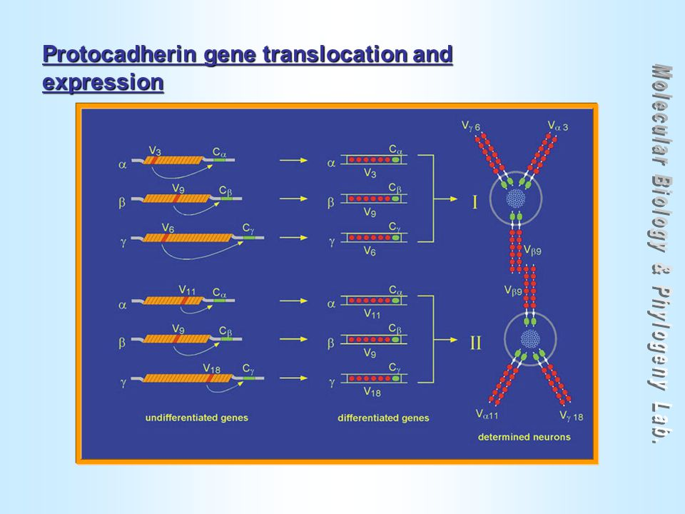 Protocadherin gene translocation and expression