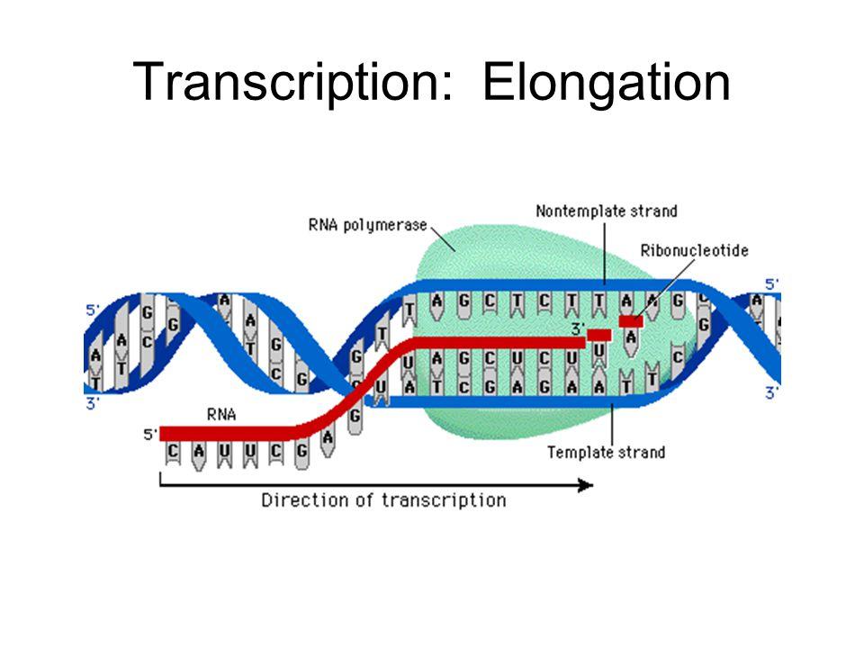Transcription: Elongation