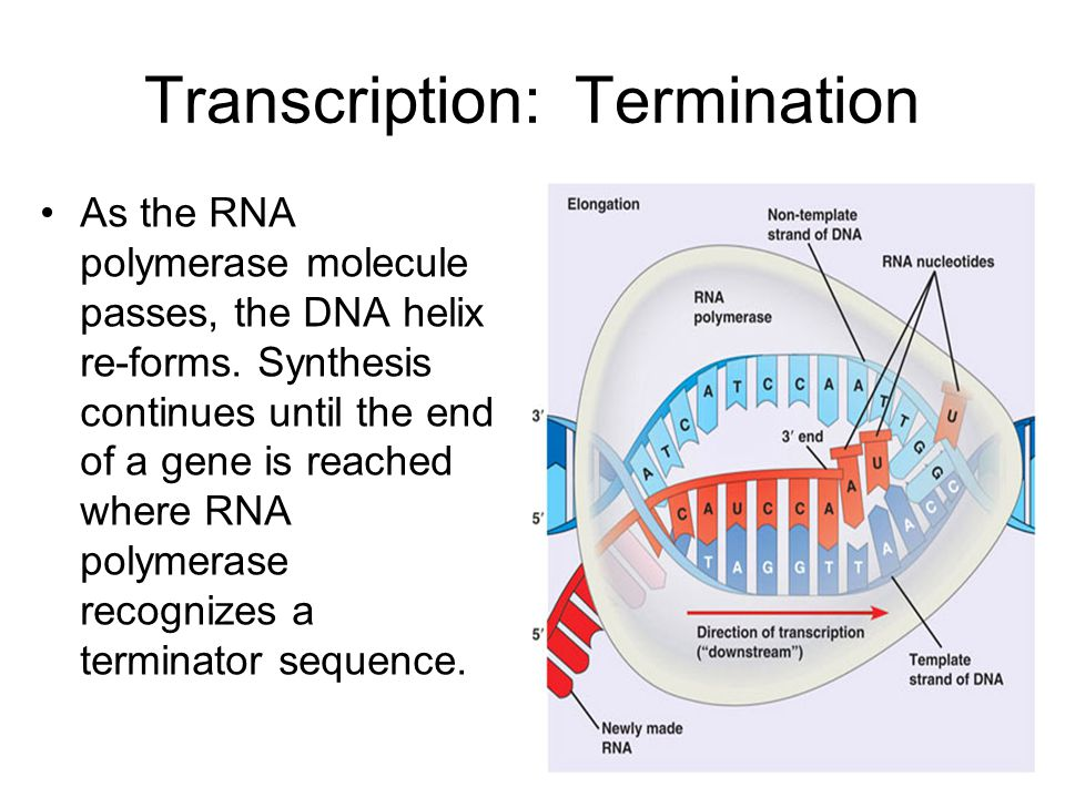 Transcription: Termination As the RNA polymerase molecule passes, the DNA helix re-forms.