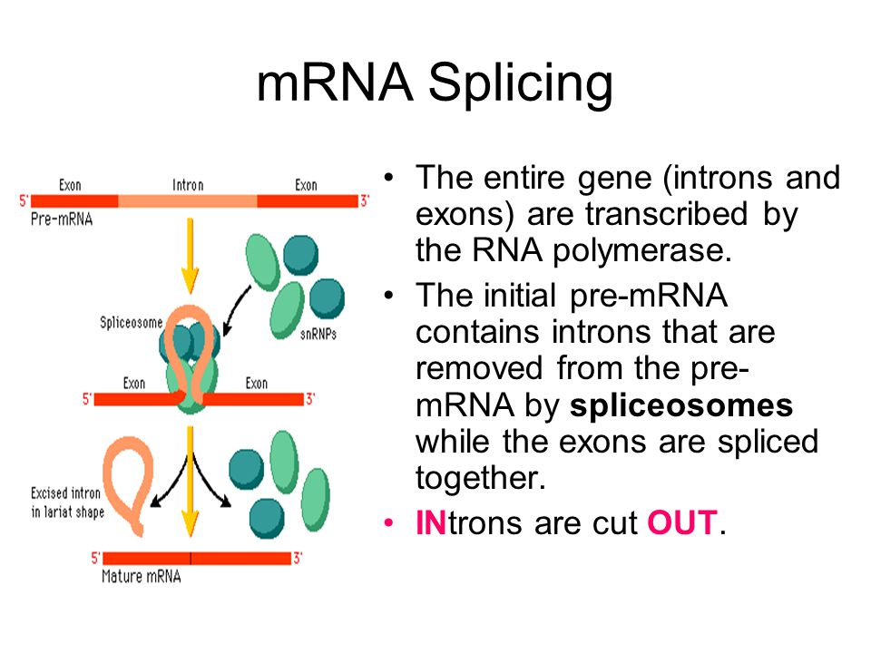 mRNA Splicing The entire gene (introns and exons) are transcribed by the RNA polymerase.