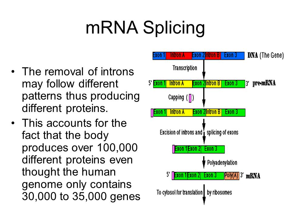 mRNA Splicing The removal of introns may follow different patterns thus producing different proteins.
