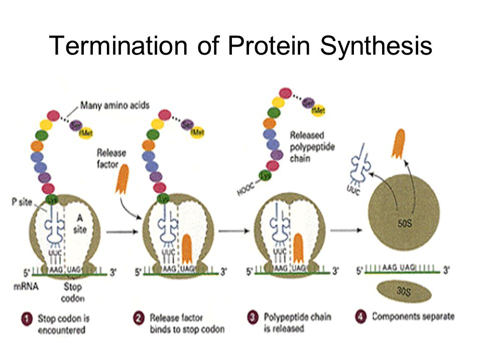 Termination of Protein Synthesis