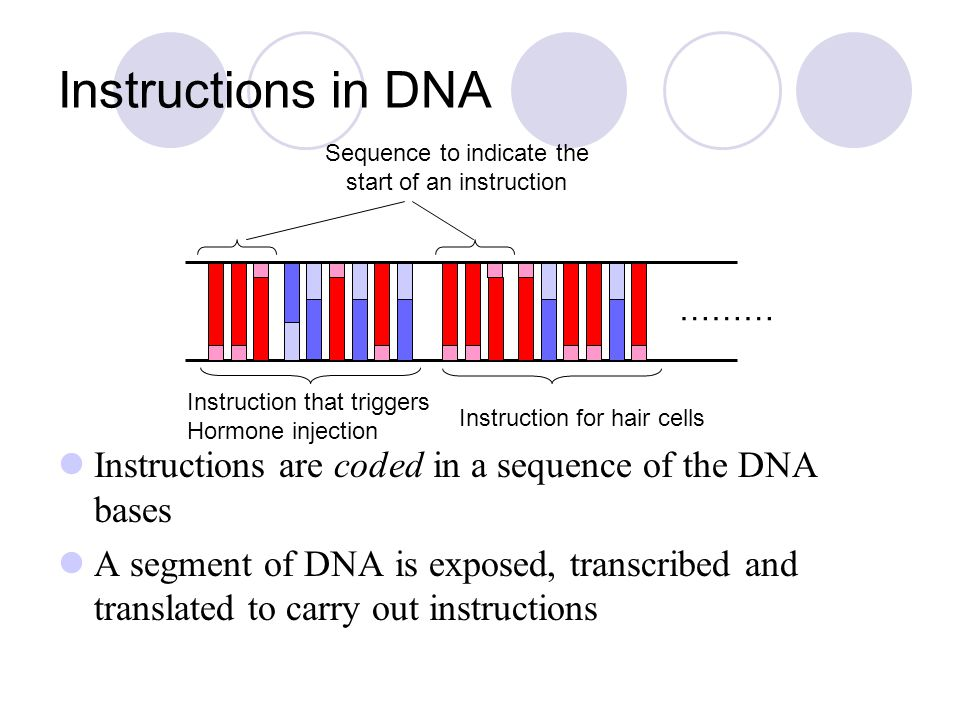 Instructions in DNA Instructions are coded in a sequence of the DNA bases A segment of DNA is exposed, transcribed and translated to carry out instruc