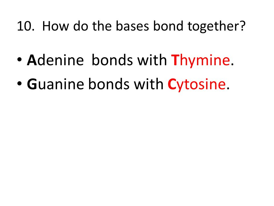 10. How do the bases bond together? Adenine bonds with Thymine. Guanine bonds with Cytosine.