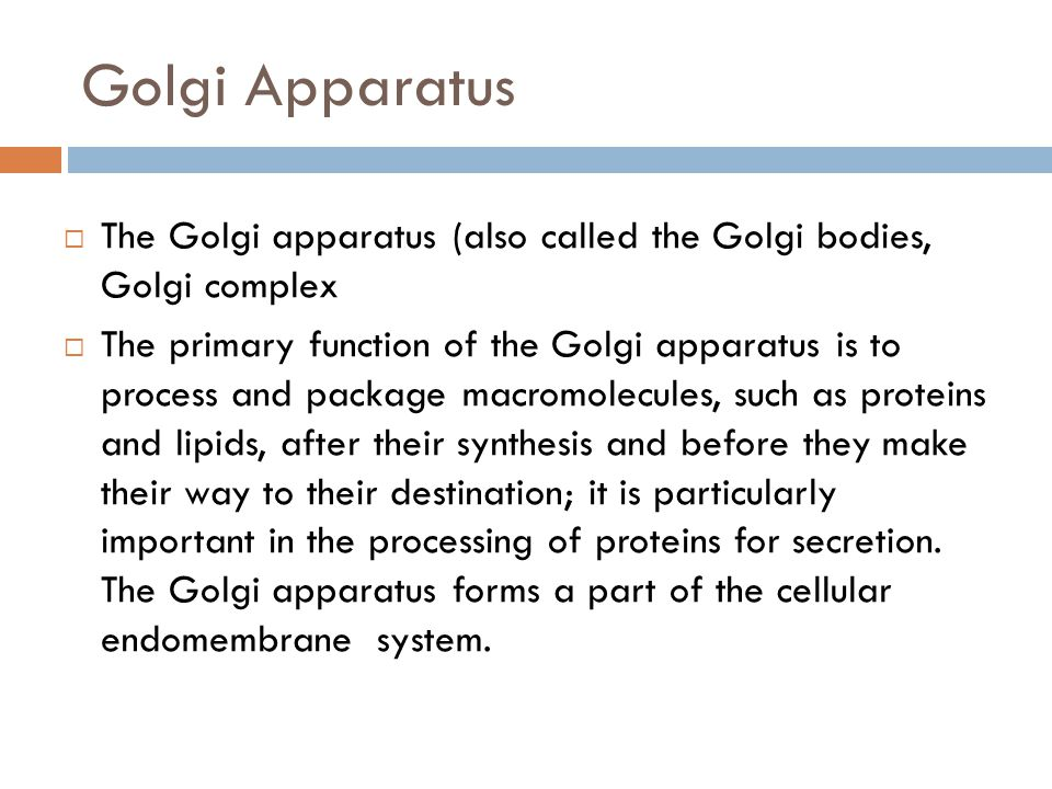 Golgi Apparatus  The Golgi apparatus (also called the Golgi bodies, Golgi complex  The primary function of the Golgi apparatus is to process and pac