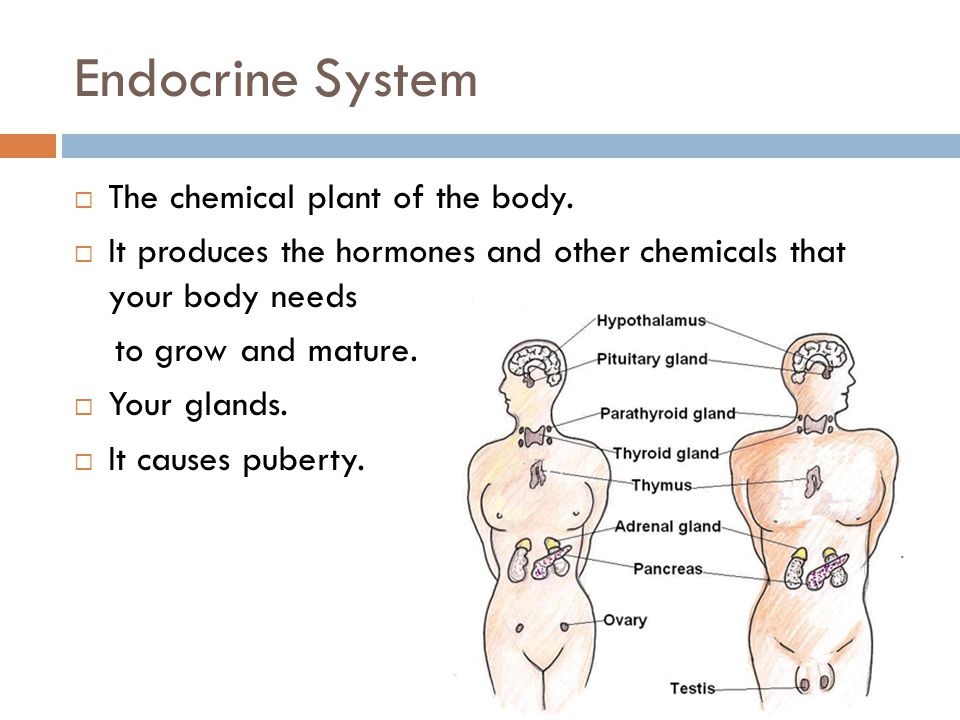 Endocrine System  The chemical plant of the body.  It produces the hormones and other chemicals that your body needs to grow and mature.  Your glan