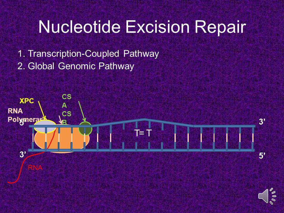 Thymine Dimer H H H3CH3C O O N NN H H CH 3 O O N Ultraviolet Radiation Covalent Bonds DNA Backbone Thymine