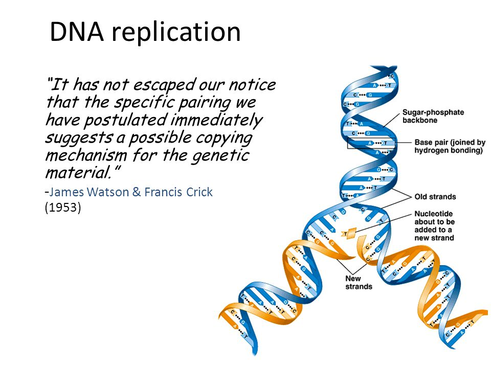 When does a cell copy DNA. When in the life of a cell does DNA have to be copied.