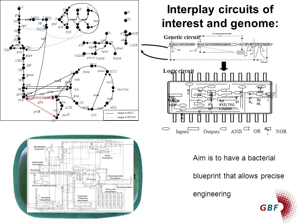 Interplay circuits of interest and genome: proteins Aim is to have a bacterial blueprint that allows precise engineering