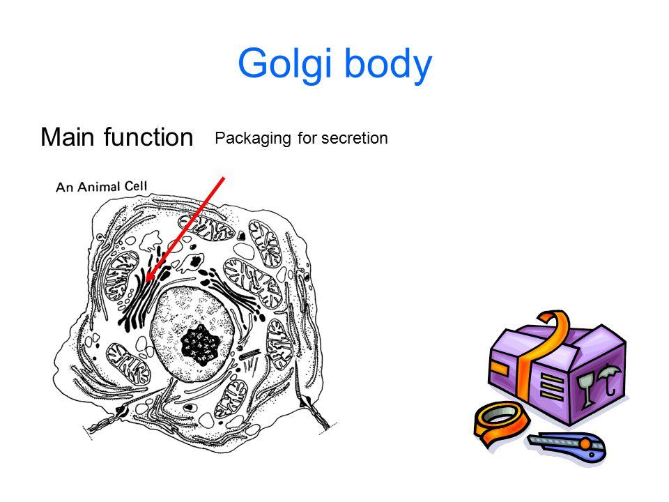 Golgi body Main function Packaging for secretion