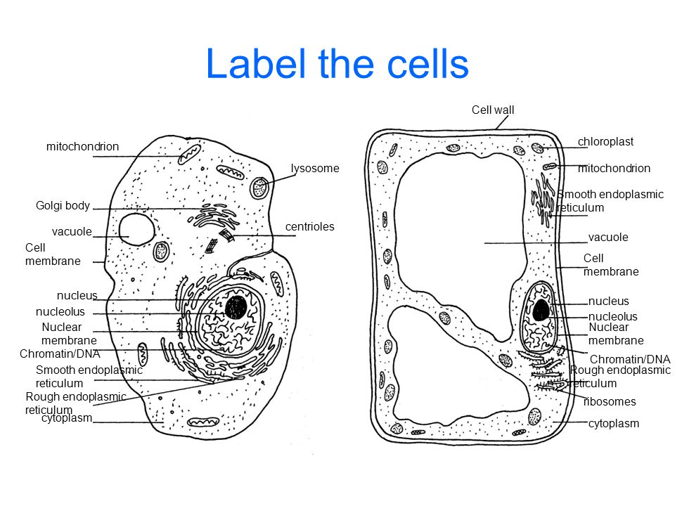 Cell wall Cell membrane Cell membrane nucleus nucleolus Nuclear membrane Nuclear membrane Chromatin/DNA mitochondrion cytoplasm lysosome chloroplast centrioles Golgi body vacuole Rough endoplasmic reticulum cytoplasm Smooth endoplasmic reticulum Rough endoplasmic reticulum ribosomes vacuole Smooth endoplasmic reticulum
