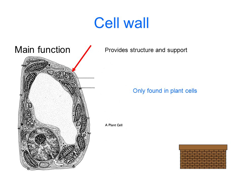 Cell wall Main function Provides structure and support Only found in plant cells