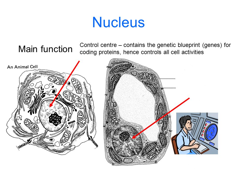 Nucleus Main function Control centre – contains the genetic blueprint (genes) for coding proteins, hence controls all cell activities
