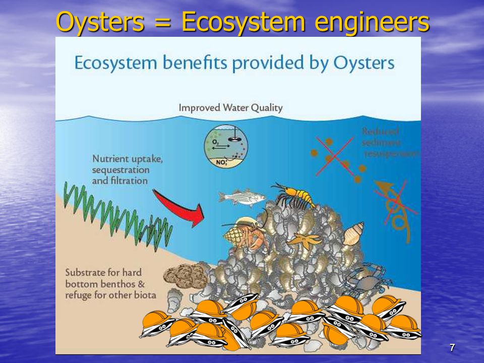 7 www.digsfish.com 7 Oysters = Ecosystem engineers