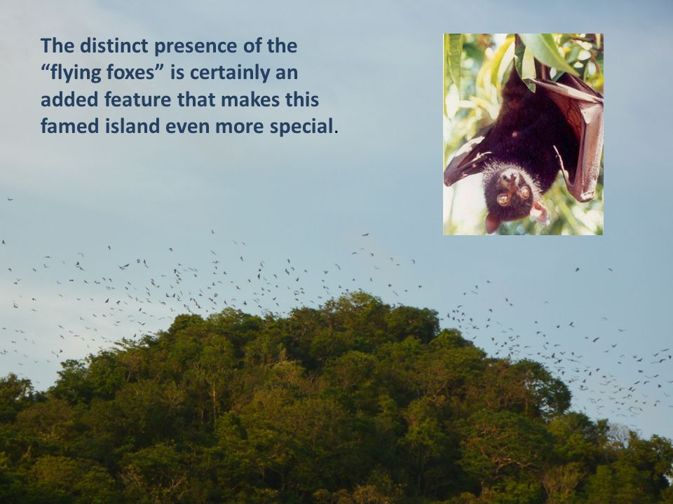 """The distinct presence of the """"flying foxes"""" is certainly an added feature that makes this famed island even more special."""