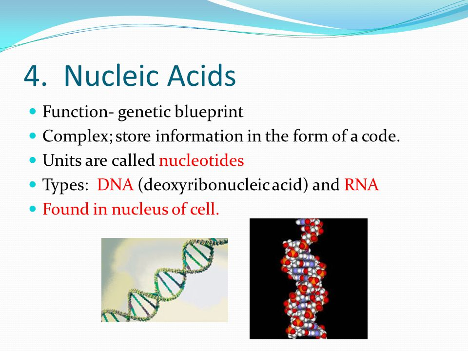 4. Nucleic Acids Function- genetic blueprint Complex; store information in the form of a code.