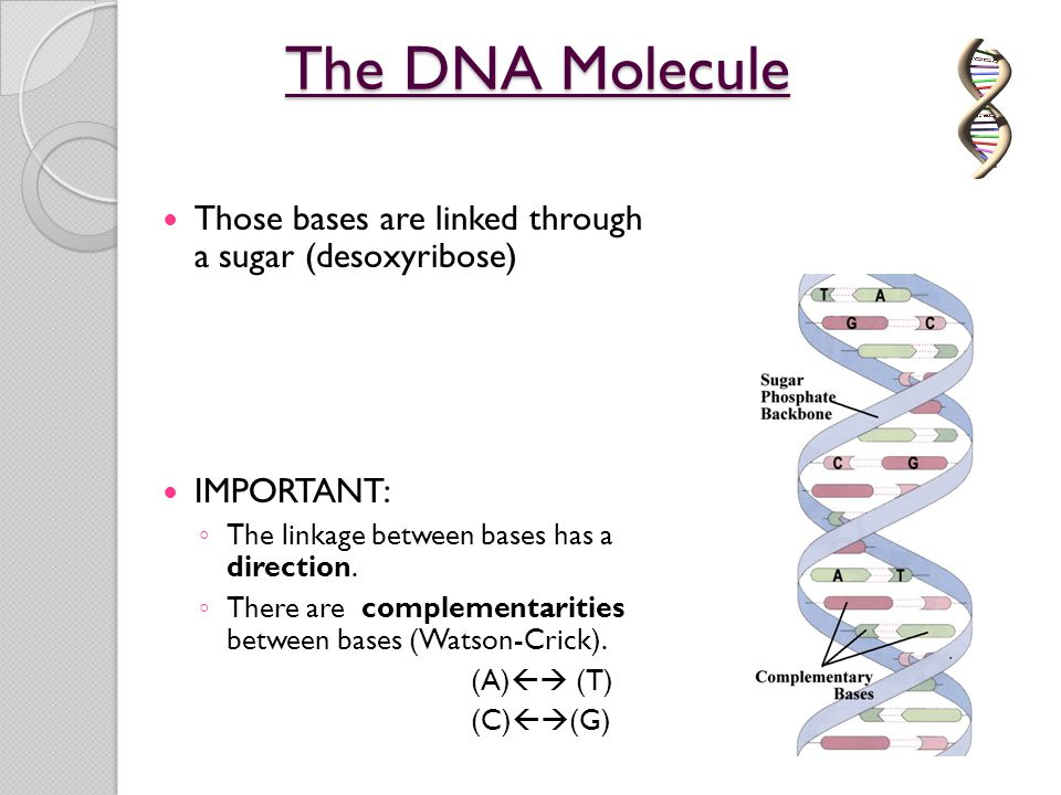 The DNA Molecule Those bases are linked through a sugar (desoxyribose) IMPORTANT: ◦ The linkage between bases has a direction. ◦ There are complementa