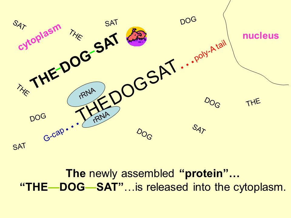 G-cap …THE DOG SAT… poly-A tail nucleus rRNA cytoplasm THE DOG SAT The newly assembled protein … THE—DOG—SAT …is released into the cytoplasm.