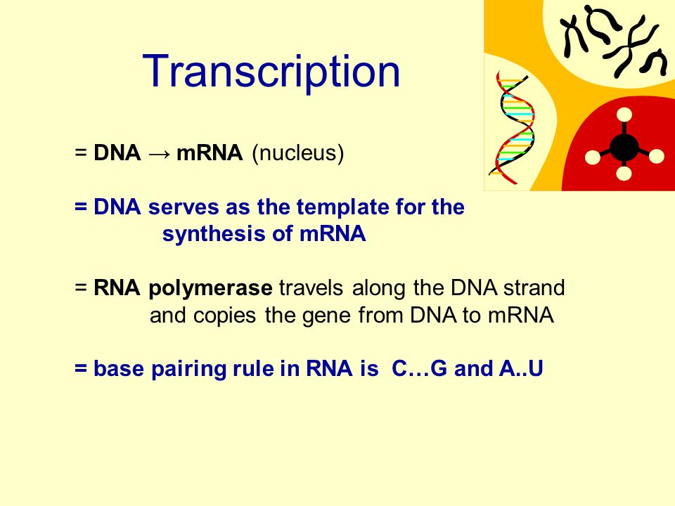 = DNA → mRNA (nucleus) = DNA serves as the template for the synthesis of mRNA = RNA polymerase travels along the DNA strand and copies the gene from DNA to mRNA = base pairing rule in RNA is C…G and A..U Transcription